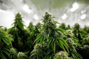 Marijuana Médicale, Cannabis En Ligne